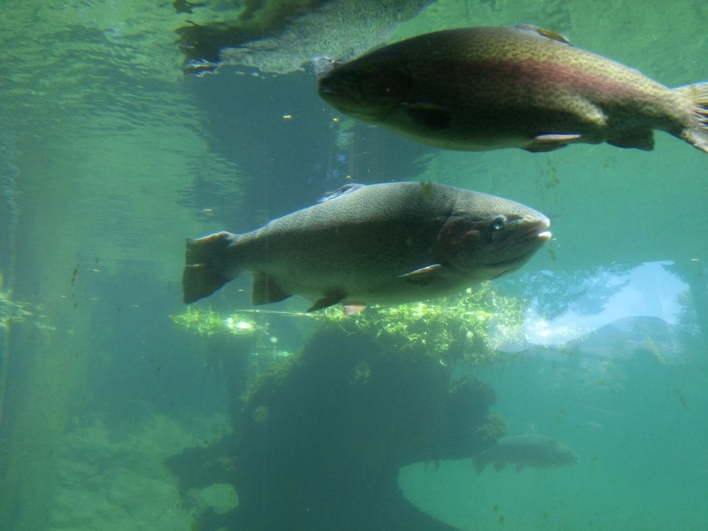Rainbow trout at fish hatchery