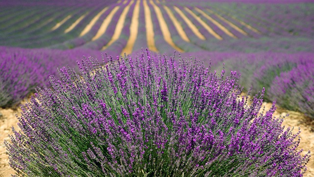 Lavender - An Important Source of Essential Oils